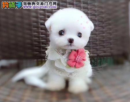 专注于培育中高端宠物基地 纯种泰迪幼犬待售