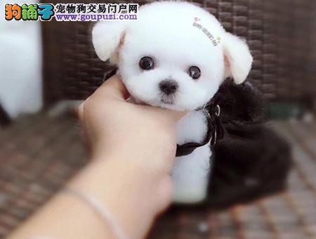 专注于培育中高端宠物基地 纯种泰迪幼犬待售1