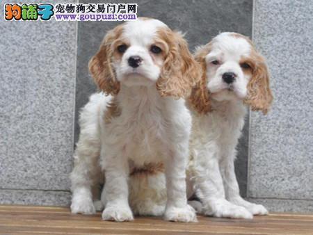 专注于培育中高端宠物基地 纯种可卡幼犬待售