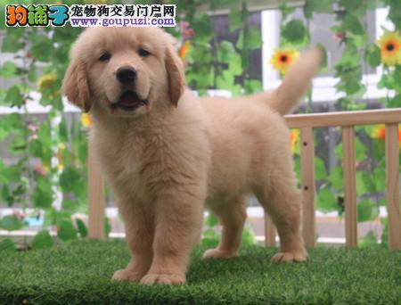 专注于培育中高端宠物基地 纯种金毛幼犬待售