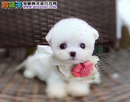 专注于培育中高端宠物基地 纯种泰迪幼犬待售3