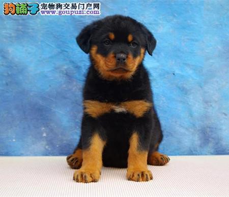 专注于培育中高端宠物基地 纯种罗威纳幼犬待售