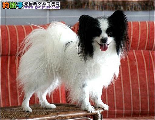 专注于培育中高端宠物基地 纯种蝴蝶犬幼犬待售