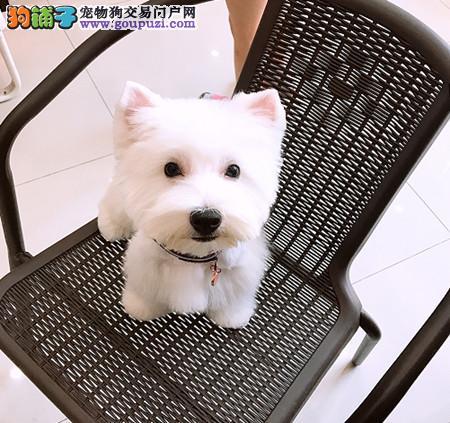 专注于培育中高端宠物基地 纯种西高地幼犬待售