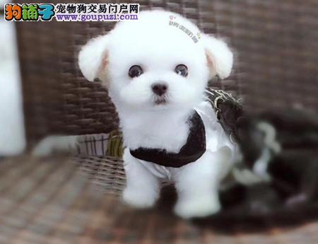 专注于培育中高端宠物基地 纯种泰迪幼犬待售2