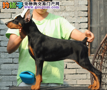 CKU认证犬业专业繁殖杜宾宝宝 绝对信誉