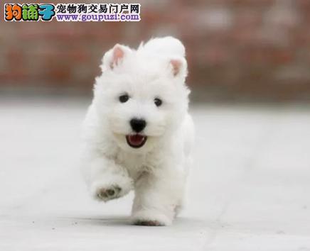 CKU认证犬业专业繁殖西高地宝宝 绝对信誉