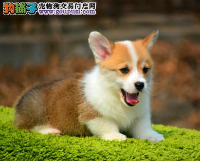 CKU认证犬业专业繁殖柯基宝宝 绝对信誉