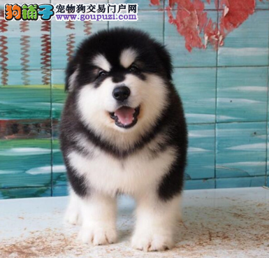 CKU认证犬业专业繁殖阿拉斯加宝宝 绝对信誉