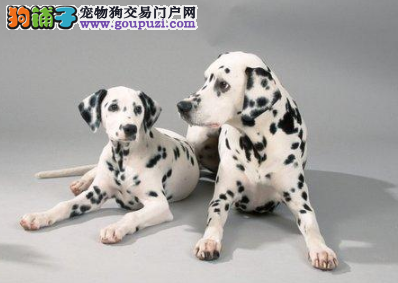 CKU认证犬业专业繁殖斑点宝宝 绝对信誉