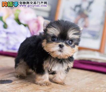CKU认证犬业专业繁殖约克夏宝宝 绝对信誉3