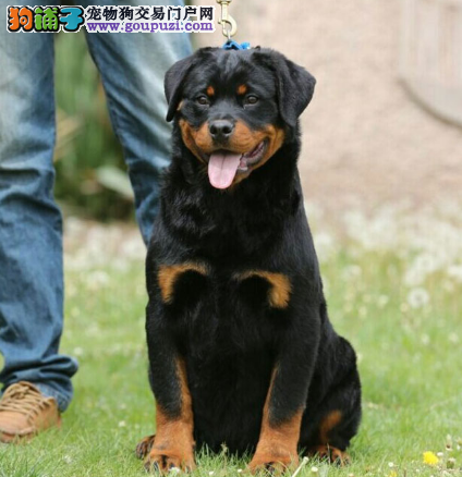 CKU认证犬业专业繁殖罗威纳宝宝 绝对信誉