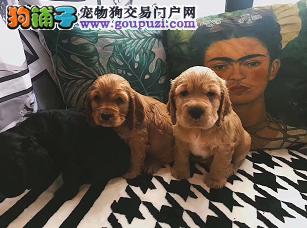 CKU认证犬业专业繁殖可卡宝宝 绝对信誉