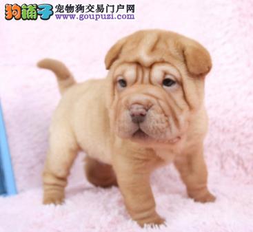 CKU认证犬业专业繁殖沙皮宝宝 绝对信誉