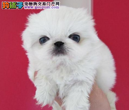 CKU认证犬业专业繁殖京巴宝宝 绝对信誉