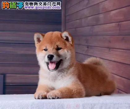 CKU认证犬业专业繁殖柴犬宝宝 绝对信誉