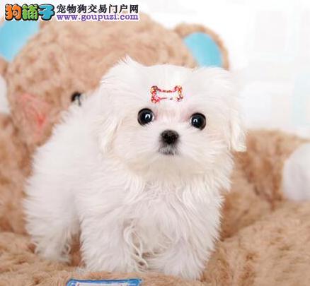 CKU认证犬业专业繁殖马尔济斯宝宝 绝对信誉