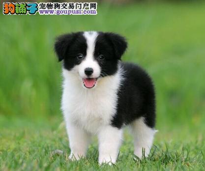 CKU认证犬业专业繁殖边牧宝宝 绝对信誉