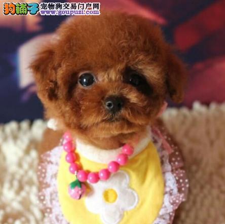 北京犬舍出售泰迪幼犬、给宝宝找新家啦2