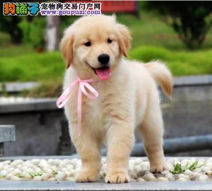 CKU认证犬业专业繁殖金毛宝宝 绝对信誉