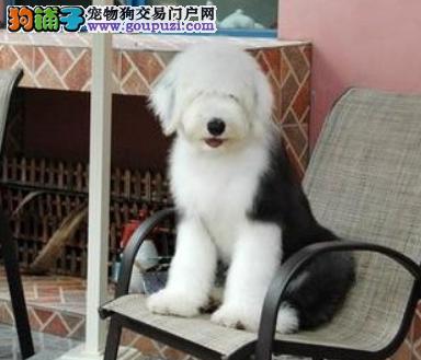 CKU认证犬业专业繁殖古牧宝宝 绝对信誉