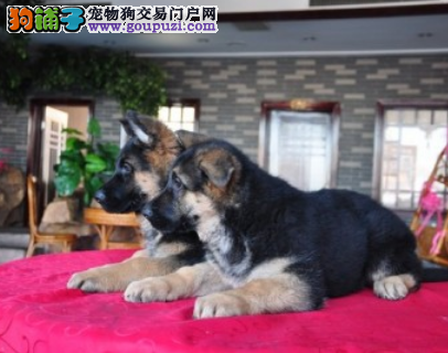 CSV认证犬业专业繁殖德牧宝宝 绝对信誉3