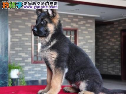 CSV认证犬业专业繁殖德牧宝宝 绝对信誉1