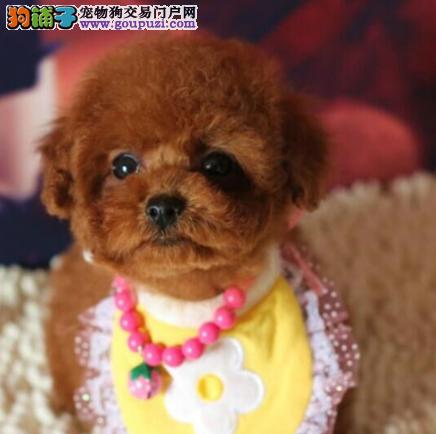 北京犬舍出售泰迪幼犬、给宝宝找新家啦3