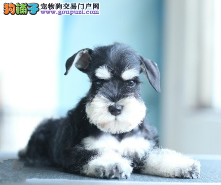 CKU认证犬业专业繁殖雪纳瑞宝宝 绝对信誉