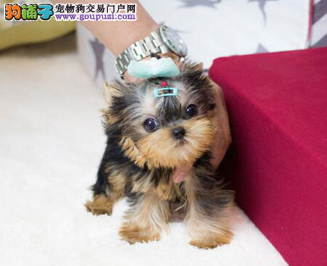 CKU认证犬业专业繁殖约克夏宝宝 绝对信誉