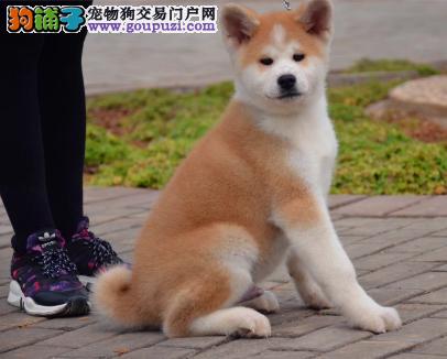 CKU认证犬业专业繁殖秋田宝宝 绝对信誉