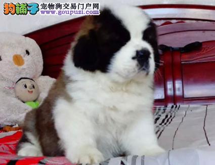 CKU认证犬业专业繁殖圣伯纳宝宝 绝对信誉