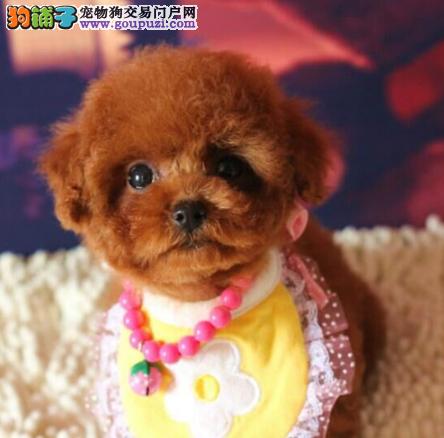 北京犬舍出售泰迪幼犬、给宝宝找新家啦