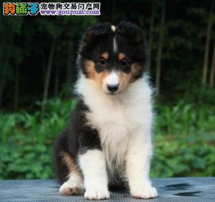 CKU认证犬业专业繁殖喜乐蒂宝宝 绝对信誉