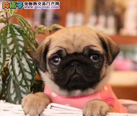 CKU认证犬业专业繁殖巴哥宝宝 绝对信誉
