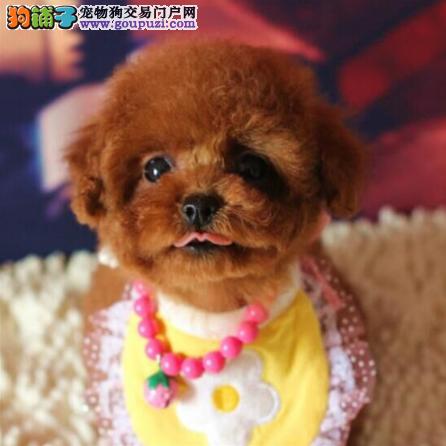 北京犬舍出售泰迪幼犬、给宝宝找新家啦1