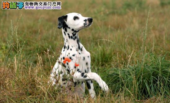 挑选斑点狗时不得不知的几个方面