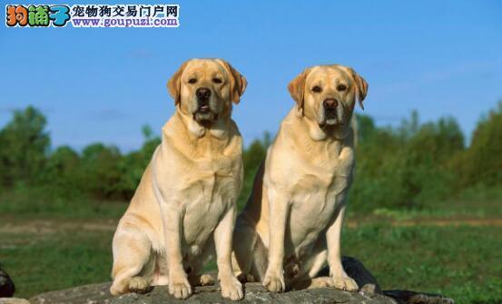 正确挑选拉布拉多犬的超实用方法