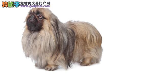 选购时要避免具有以下情况的京巴犬