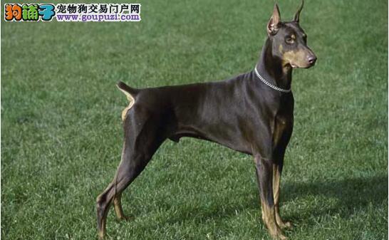 不常见的犬种——杜宾犬的挑选方法