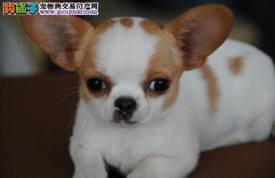 从四个方面来挑选健康可爱的吉娃娃犬
