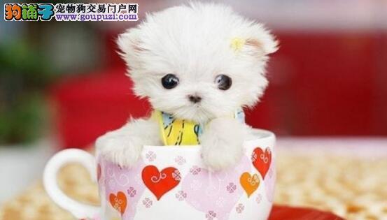 如何选择一只狗狗中的贵妇——茶杯犬
