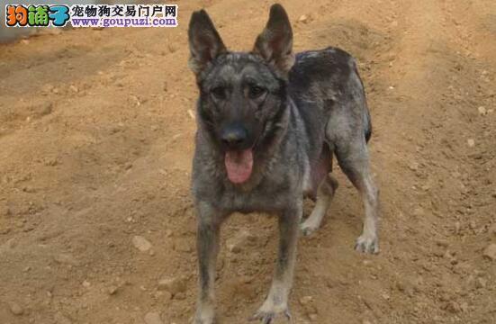 挑选一条优秀的昆明犬,圆你的军人梦