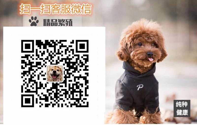 热销多只优秀的纯种泰迪犬幼犬质量三包完美售后5