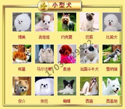出售聪明伶俐天津泰迪犬品相极佳包养活送用品6