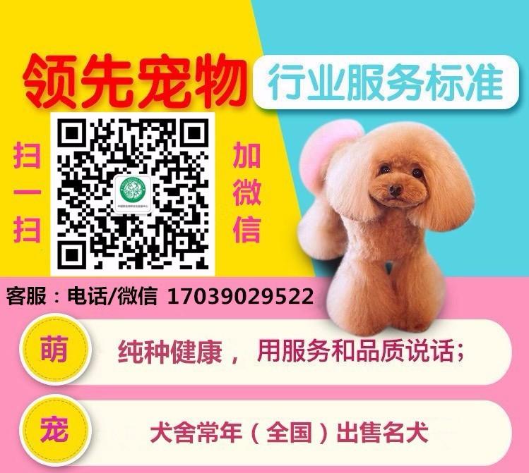 出售聪明伶俐天津泰迪犬品相极佳包养活送用品5