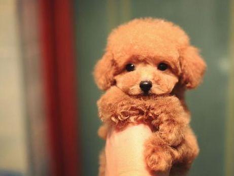 成都专业繁殖纯种泰迪幼犬可送货上门签协议保健康26