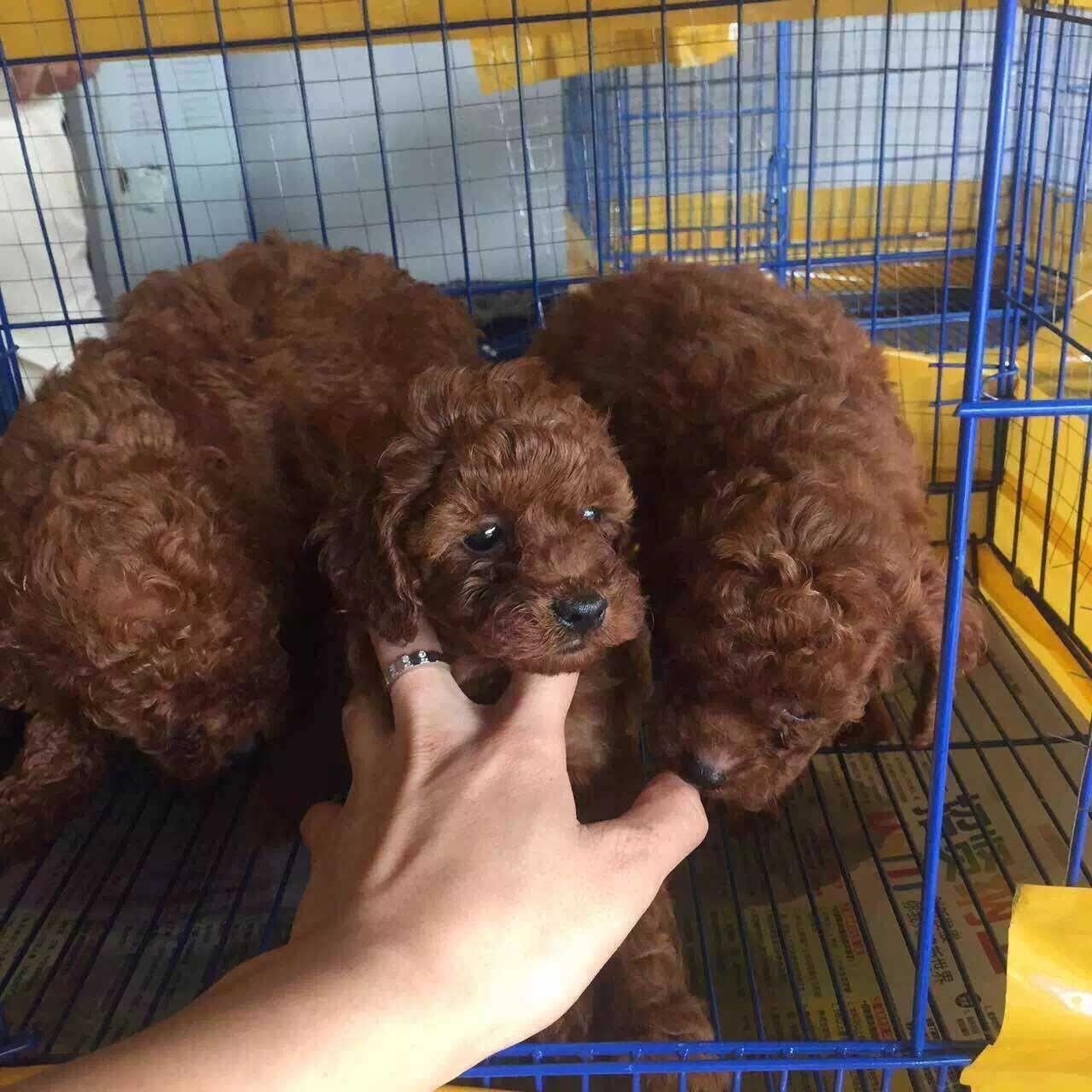 成都专业繁殖纯种泰迪幼犬可送货上门签协议保健康6