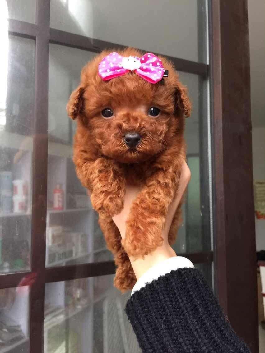 成都专业繁殖纯种泰迪幼犬可送货上门签协议保健康18