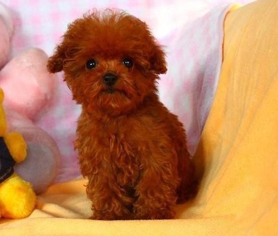 成都专业繁殖纯种泰迪幼犬可送货上门签协议保健康21